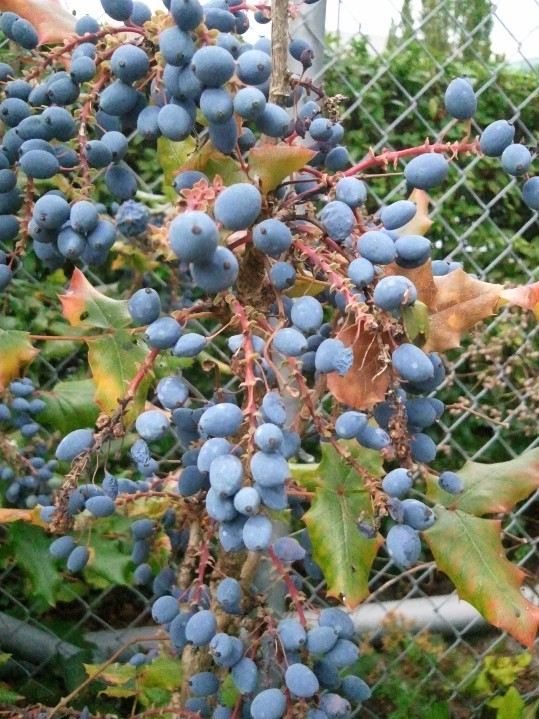 Oregon-grape