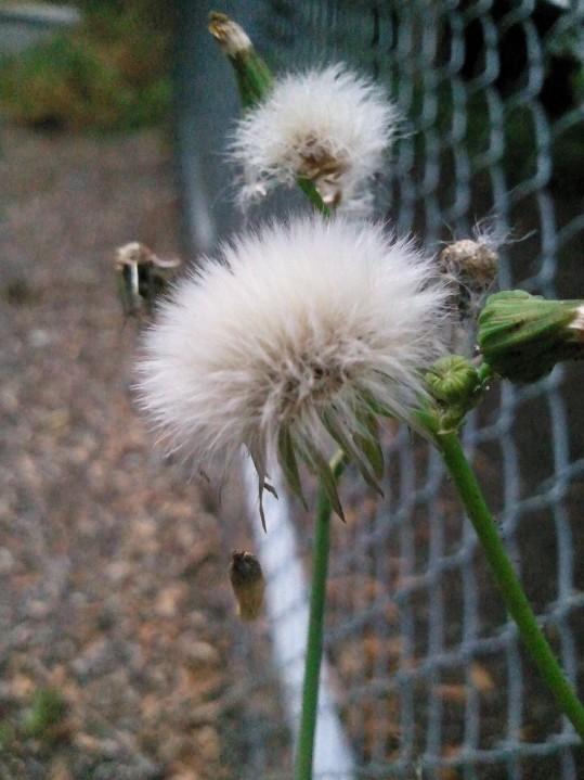 Cotton-like