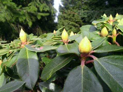 Rhododendron flower buds