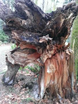 Big fallen tree stump