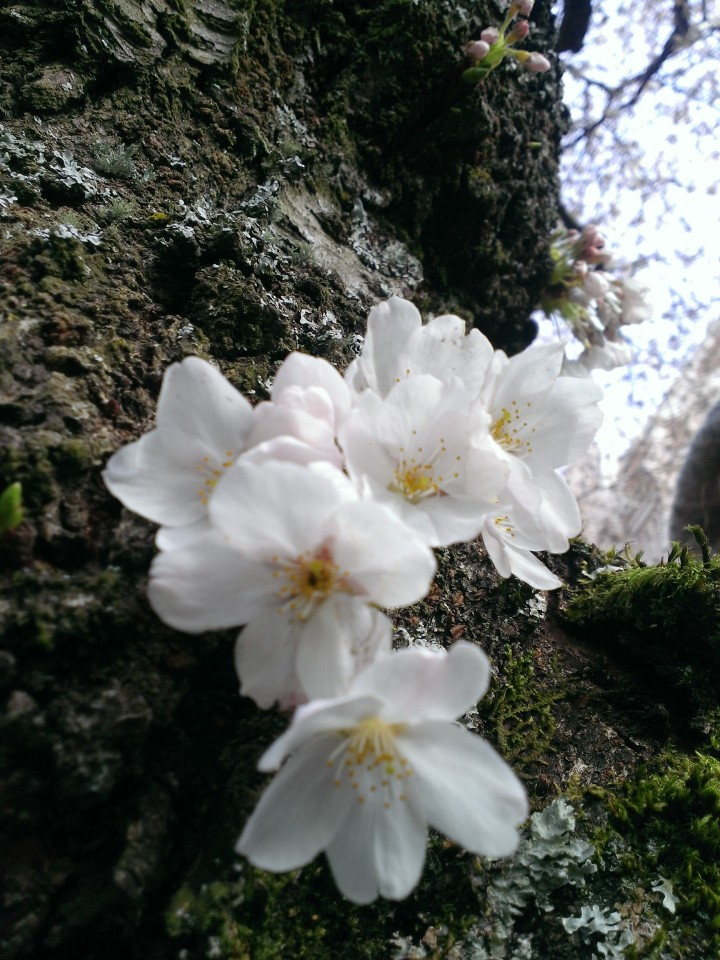 Blossoms at the tree trunk