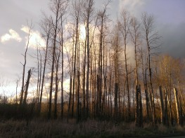 Tall and still bare trees