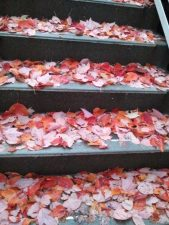 After a week long vacation, back in Fall weather to find that the steps in my office building were all covered with red leaves