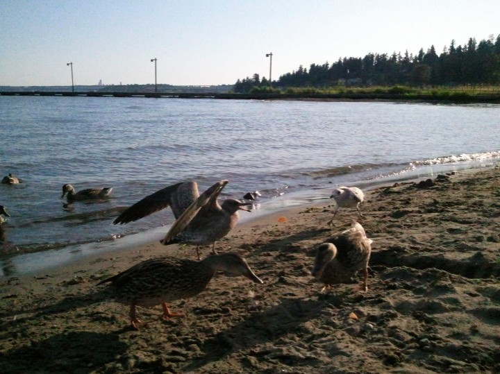 Ducks and seagulls disputing some bread