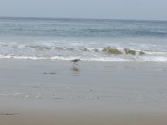 Beach bird - Marbled Godwit?