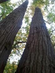 Long tree trunks