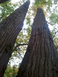 Long tree trunks