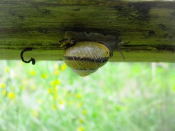 An upside down snail