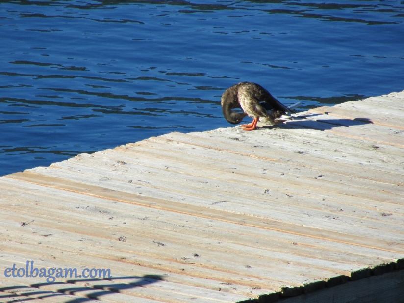 DuckBath_02
