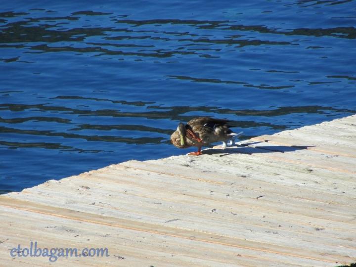 DuckBath_06