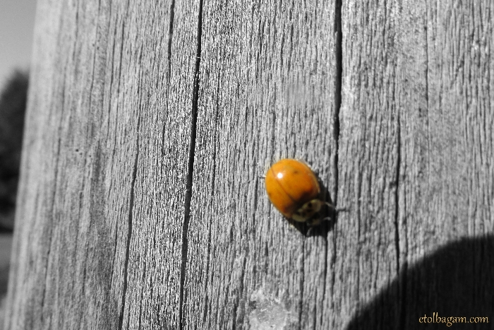ladybugSplash700