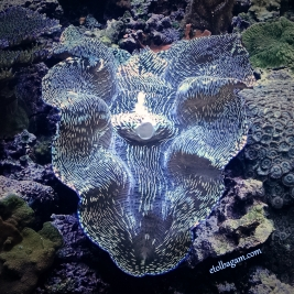 Week 4 - Shinny giant clam